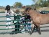 celtic-pony