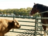 13coo-horsestandoff-Heather_MacIver.jpg