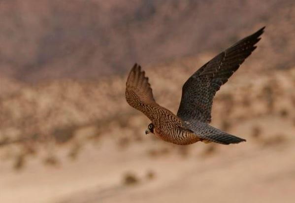 15birdofprey